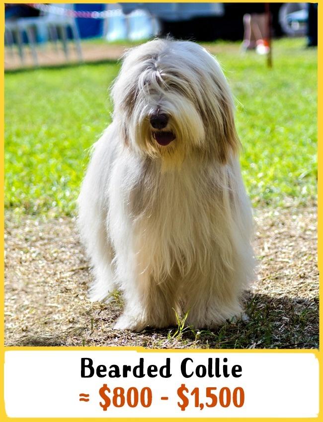 3)Bearded collie