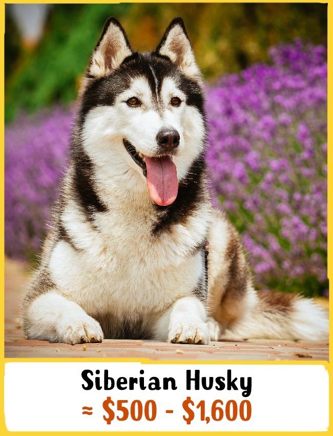 2)Szibériai husky